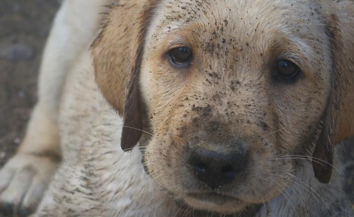Puppy #3: Brando