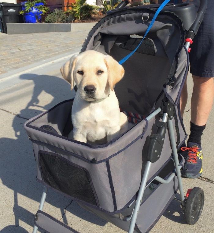 062616 stroller pup